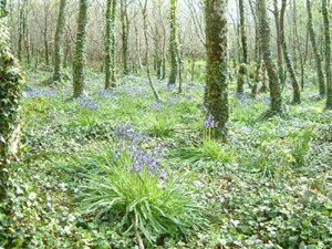 bluebell wood - Glensallagh, Ballydehob, Ireland